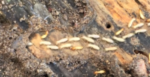 termite treatment - termite control